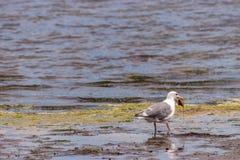 Seagull που φέρνει ένα κοχύλι μαλακίων κατά μήκος μιας ακτής Στοκ Φωτογραφία