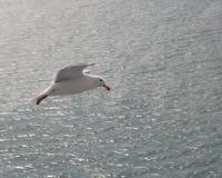 Seagull που χαράζει το κρουαζιερόπλοιο Στοκ φωτογραφία με δικαίωμα ελεύθερης χρήσης