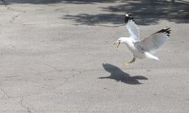 Seagull προσγείωσης Στοκ Εικόνα