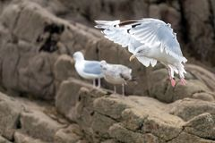Seagull προσγείωση Στοκ εικόνες με δικαίωμα ελεύθερης χρήσης