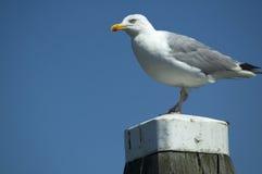 seagull προσοχή στοκ φωτογραφίες