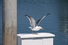 seagull πτήσης λήψη Στοκ εικόνες με δικαίωμα ελεύθερης χρήσης