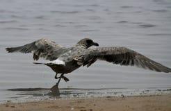 seagull πτήσης λήψη Στοκ Φωτογραφίες