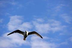 seagull πτήσης πουλιών Στοκ εικόνα με δικαίωμα ελεύθερης χρήσης