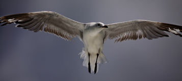 seagull πτήσης Στοκ Εικόνες
