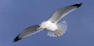 seagull πτήσης Στοκ εικόνες με δικαίωμα ελεύθερης χρήσης