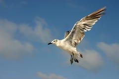 seagull πτήσης Στοκ φωτογραφία με δικαίωμα ελεύθερης χρήσης
