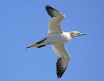 seagull πτήσης Στοκ Φωτογραφία
