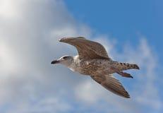 seagull πτήσης Στοκ εικόνα με δικαίωμα ελεύθερης χρήσης