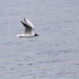 Seagull πτήση Στοκ Εικόνα