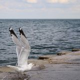 Seagull πτήση Στοκ Εικόνες