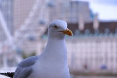 Seagull - πυροβολισμός κινηματογραφήσεων σε πρώτο πλάνο στοκ εικόνα