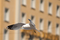 seagull πόλεων Στοκ φωτογραφία με δικαίωμα ελεύθερης χρήσης