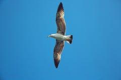 seagull πλέγματος πετάγματος διάνυσμα ουρανού Στοκ Φωτογραφίες