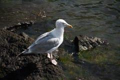 Seagull σε έναν βράχο και έναν ποταμό Στοκ φωτογραφία με δικαίωμα ελεύθερης χρήσης