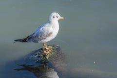 Seagull σε έναν βράχο στοκ εικόνες