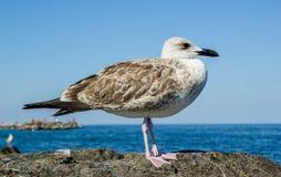 Seagull σε έναν βράχο στοκ φωτογραφία