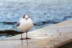 Seagull σε έναν μώλο Στοκ Φωτογραφία