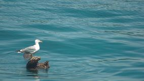 Seagull σε ένα κούτσουρο απόθεμα βίντεο