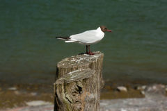 Seagull σε ένα κολόβωμα δέντρων Στοκ Εικόνα
