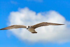 Seagull σε ένα υπόβαθρο των σύννεφων Στοκ φωτογραφία με δικαίωμα ελεύθερης χρήσης