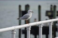 Seagull σε κλασσικό θέτει Στοκ Εικόνες