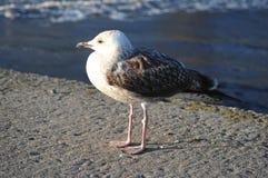 Seagull σε μια αποβάθρα στοκ εικόνες