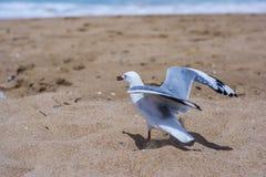 Seagull σε μια παραλία στη Νότια Νέα Ουαλία, Αυστραλία Στοκ Φωτογραφίες