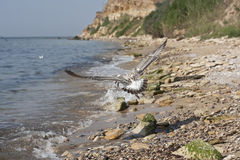 Seagull σε μια παραλία Στοκ φωτογραφίες με δικαίωμα ελεύθερης χρήσης