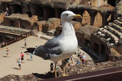 Seagull σε Colosseum, Ρώμη Στοκ Εικόνες