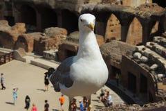 Seagull σε Colosseum, Ρώμη Στοκ εικόνα με δικαίωμα ελεύθερης χρήσης