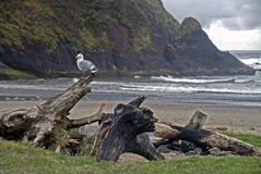 Seagull σε Driftwood Στοκ Εικόνα