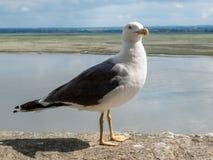 Seagull σε LE Mont Saint-Michel, το μεσαιωνικά ενισχυμένα αβαείο και το χωριό σε ένα παλιρροιακό νησί στη Νορμανδία, Γαλλία στοκ εικόνα