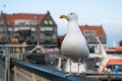 Seagull σε Volendam, Κάτω Χώρες Στοκ Φωτογραφία