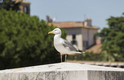 Seagull στάσεις στην πέτρα Στοκ Εικόνα