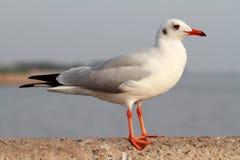 Seagull στάση Στοκ φωτογραφίες με δικαίωμα ελεύθερης χρήσης