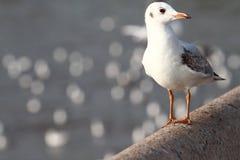 Seagull στάση Στοκ εικόνες με δικαίωμα ελεύθερης χρήσης