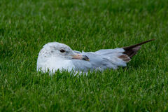 Seagull στήριξης Στοκ φωτογραφία με δικαίωμα ελεύθερης χρήσης