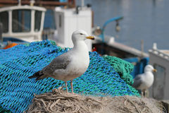 Seagull στα δίχτυα του ψαρέματος U Scarborough Κ Στοκ Εικόνες
