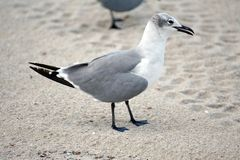 Seagull στην άμμο στην παραλία Dania στοκ εικόνα
