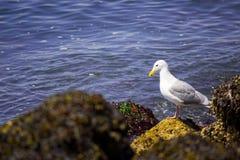 Seagull στην ακτή Στοκ φωτογραφία με δικαίωμα ελεύθερης χρήσης