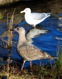 Seagull στην ακτή Στοκ εικόνες με δικαίωμα ελεύθερης χρήσης