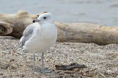 Seagull στην ακτή Στοκ Φωτογραφίες