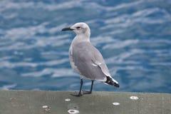 Seagull στην αποβάθρα Στοκ Εικόνα