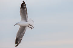 Seagull στην αυγή Στοκ εικόνα με δικαίωμα ελεύθερης χρήσης