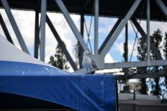 Seagull στην μπλε σκηνή στο νησί Granville, Καναδάς Στοκ Φωτογραφία