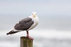 Seagull στην ξύλινη συσσώρευση Στοκ Εικόνα