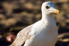 Seagull στην παραλία Στοκ Εικόνα