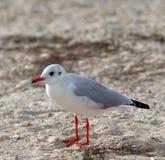 Seagull στην παραλία θάλασσας στην ημέρα ήλιων Στοκ φωτογραφία με δικαίωμα ελεύθερης χρήσης
