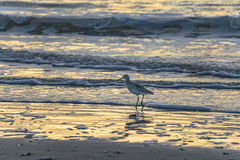 Seagull στην παραλία στην ανατολή Στοκ εικόνα με δικαίωμα ελεύθερης χρήσης